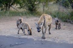 鬣狗和崽家庭  免版税库存照片