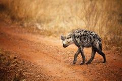 鬣狗回到查阅 免版税图库摄影