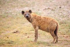 鬣狗在徒步旅行队观看,在肯尼亚 库存图片