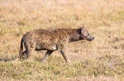 鬣狗在非洲单独走 图库摄影