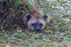 鬣狗坚硬的徒步旅行队肯尼亚 免版税库存照片