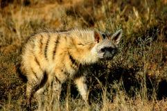 鬣狗家庭的狼似的亲属告诉了Aardwolf 免版税库存照片