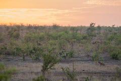 鬣狗日落 库存图片