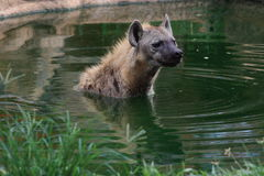 鬣狗池塘察觉了 库存图片
