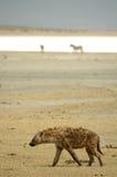 鬣狗笑的ngorongoro 免版税库存图片