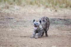 鬣狗笑 免版税库存照片