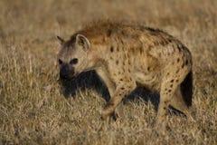 鬣狗肯尼亚mara马塞人大草原 库存图片
