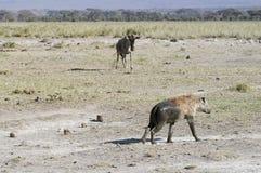 鬣狗角马 图库摄影