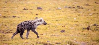 鬣狗跑在草原,肯尼亚 免版税图库摄影
