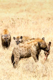 鬣狗, Ngorongoro火山口 免版税库存图片