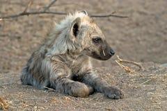 鬣狗年轻人 免版税库存图片