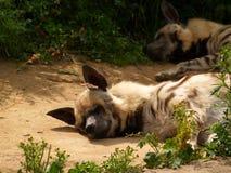 鬣狗[1] 免版税库存照片