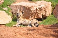 鬣狗 免版税图库摄影