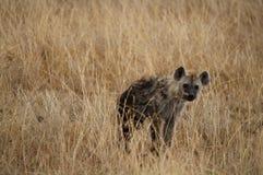 鬣狗 库存图片