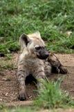鬣狗崽 免版税库存照片