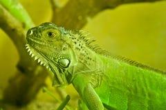 鬣鳞蜥一点 免版税图库摄影