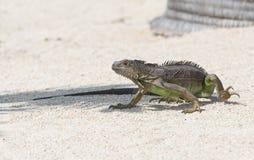 鬣鳞蜥不受欢迎的客人 库存图片