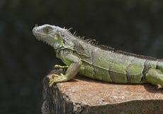 鬣鳞蜥休息 库存图片