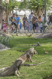 鬣鳞蜥公园瓜亚基尔厄瓜多尔 免版税图库摄影