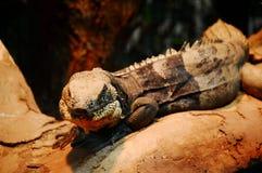鬣鳞蜥凝视 免版税库存图片
