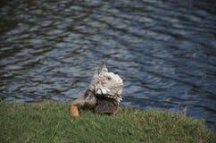鬣鳞蜥吃了我的高尔夫球 库存图片