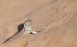 鬣鳞蜥和平的s tschudi 免版税库存图片