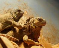 鬣鳞蜥在伊拉克利翁希腊 免版税库存图片