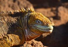 鬣鳞蜥在加拉帕戈斯群岛晒黑 免版税图库摄影