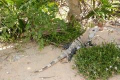 鬣鳞蜥在树下 库存图片