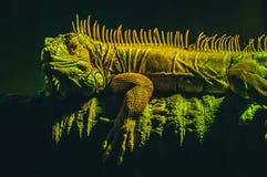 鬣鳞蜥在深绿背景的龙蜥蜴在树的分支 图库摄影