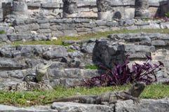 鬣鳞蜥在老玛雅站点在Tulum,金塔纳罗奥州,墨西哥 免版税库存图片