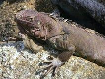 鬣鳞蜥在阿鲁巴 库存照片