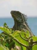 鬣鳞蜥在阿鲁巴 库存图片