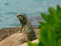 鬣鳞蜥在阿鲁巴 免版税库存图片