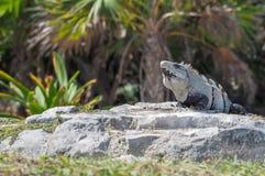 鬣鳞蜥在鲁伊纳斯Tulum 免版税库存照片