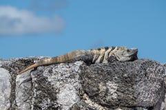 鬣鳞蜥在鲁伊纳斯Tulum 免版税库存图片