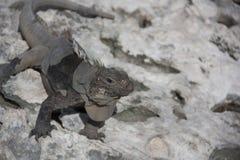 鬣鳞蜥在他们的自然生态环境 免版税库存图片