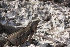 鬣鳞蜥在他们的自然生态环境 库存图片