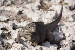 鬣鳞蜥在他们的自然生态环境 免版税库存照片