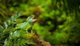 鬣鳞蜥在绿色狂放的亚马逊密林 库存图片