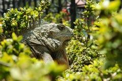 鬣鳞蜥地产 免版税库存照片