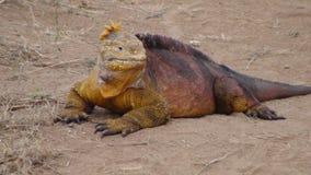 鬣鳞蜥地产 库存图片