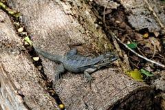 鬣鳞蜥坐一根树干在大牧场Baru 免版税库存照片