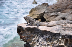 鬣鳞蜥墨西哥岩石 免版税库存图片