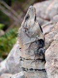 鬣鳞蜥墨西哥纵向 图库摄影
