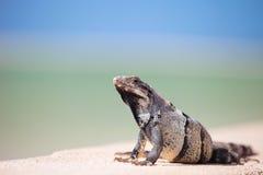 鬣鳞蜥墨西哥 免版税库存图片