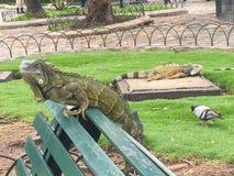 鬣鳞蜥外形在一条长凳的在Seminario公园,瓜亚基尔厄瓜多尔 免版税图库摄影