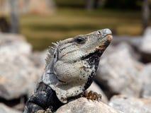 鬣鳞蜥威胁 免版税图库摄影