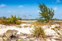 鬣鳞蜥岩礁居民给了它绰号 库存照片