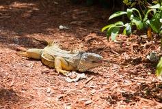 鬣鳞蜥庭院 库存照片